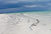 Seabirds Flying And On The Beach In The Gulf Of Mexico On Anna Maria Island, Florida