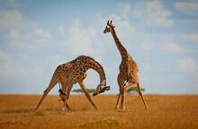 Male Giraffes Fighting For Dominance In The Masai Mara, Kenya.