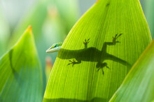 The Carolina Anole (Anolis Carolinensis) Is An Arboreal Lizard Found Primarily In The Southeastern United States And Some Caribbean Islands.