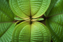 Selective Focus Of The Green Leaves Of A Tropical Plant.