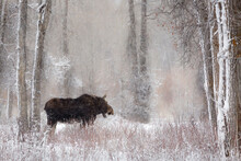 Moose Among Cottonwood And Willow Trees During A Snow Storm, Grand Teton National Park, Wyoming