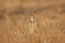 An Adult Burrowing Owl In Tall Grass At A Golf Course In Davis, USA.