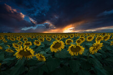 Sunflowers Bloom Along The Front Range In Colorado, USA