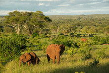 A Herd Of Wild African Elephants Grazing At Sunset At Tarangire National Park In Tanzania