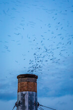 Vaux's Swifts Funnel Into The Chapman Chimney At Dusk