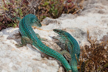 Two Male Ibiza Wall Lizards Fight Over Some Food At The Cap De Barbaria, Formentera.