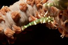 Green Zanzibar Shrimp On Wire Coral.