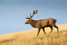A Large Red Deer (Cervus Elaphus) Stag Walks Proudly On A Tussock Grass Ridge In Deer Park Heights, Near Queenstown, South Island Of New Zealand.