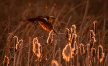 Yellow-headed Blackbird Flying Among Cattails. Montana.