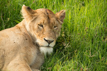 A Lion Resting In The Grass At Serengeti National Park In Tanzania