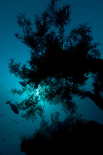 Coral Silhouette In Early Morning Sun. On The Wreck Of The Liberty In Tulamben, Bali