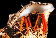 Mexico, Guerrero, Ixtapa. Portrait Of A Hermit Crab Peering Out Of His Protective Shell At Sacatoso Dive Site.