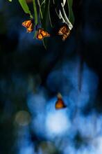 Monarch Butterflies Santa Barbara, California, USA