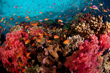 Fiji Reef Scene With Soft Corals, Hard Corals And Schools Of Anthias.