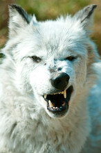 A Captive Gray Wolf Growls At The Center In West Yellowstone, Montana