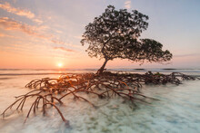 Sunrise And Red Mangrove In The Pig Keys, Honduras.     (not Available For Puzzle Use)