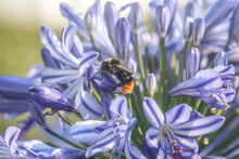 Closeup Shot Of A Bee Perched On A Blooming Blue Agapanthus Flower