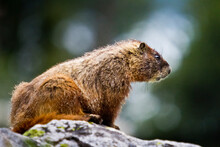 A Marmot Rests On A Boulder In Cascade Canyon Of Grand Teton National Park, Wyoming.