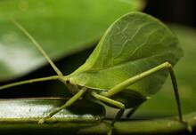 A Green Grasshopper In Tambopata National Reserve, Peru.