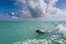 A Bottlenose Dolphin Rides The Wake Of A Boat In Florida Bay Within Everglades National Park, Florida.