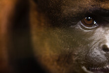 Extreme Close Up Of The Face Of A Cute And Soft Wooley Monkey.