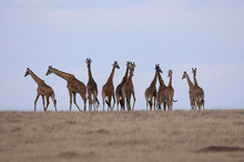 A Group Of Giraffes On The Horizon In Tanzania.