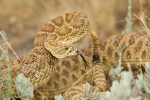A Prairie Rattlesnake (crotalus Viridis) Is Coiled And Ready To Strike In Self-defense.