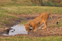 A Lioness Drinks Water At A Water Hole In Mana Pools National Park, Zimbabwe.