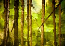 The Trunks Of Mangrove Tress Ripple In Khao Sam Roi Yot National Park, Thailand.