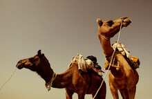 Two Camels Used For Carrying Tourists Into The Desert In Rajasthan, India.