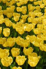 Bright Yellow Tulips Grace Portland's Public Gardens In Springtime, Portland, Maine