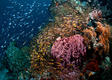 A School Of Golden Sweepers Surround A Barrel Sponge On The Reef In Raja Ampat..