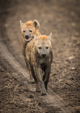 Two Hyenas Follow The Tire Tracks Of The Jeep As They Traverse The Plains Of The Masai Mara, Kenya.