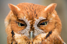 A Close Up Portrait Of An Eastern Screech Owl Taken On Seven Islands Wildlife Refuge In East Tennessee.