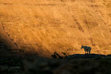 A Mountain Goat Stands Silhouetted Against Golden Light In Glacier National Park, Montana.