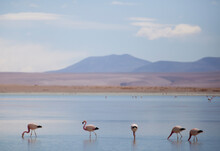 A Group Of Flamingos In The High Mineral Lakes Of SW Bolivia.