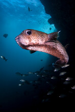 Mexico, Guerrero, Zihuatanejo. Portrait Of A Porcupine Fish Found At Piedra Solitaria Dive Site.