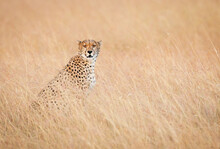 A Cheetah's Intense Stare Is Captured In The Masai Mara, Kenya.