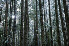 The Sun Shines Through The Forest, Ford Mountain Trail, Fraser Valley, Canada