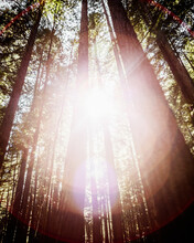 Looking Up At A Back Lit Redwood Tree With Motion Blur And Lens Flare In Armstrong Redwoods State Natural Reserve, Sonoma County, USA