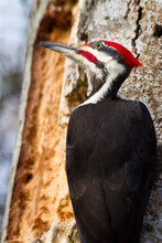 A Pileated Woodpecker Looks Toward The Sky In The Alaksen National Wildlife Area In , British Columbia, Canada.