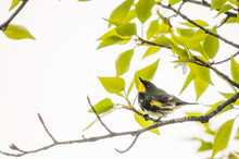 Yellow Rumped Warbler Signing In Trees Along The Rocky Mountain Front, Alberta, Canada.