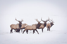 A Small Herd Of Bull Elk Make Their Way Through A White-out Blizzard In The National Elk Refuge Near Jackson, Wyoming.