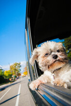 Lhasa Apso Wearing A Collar With Head Out Of A Car Window In The City During A Ride Under Blue Skies In A Sunny Autumn Day.