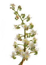 Horse-chestnut (Conker Tree) Flowers Isolated On White Background, Clipping Path