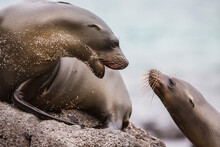 Sea Lions Have A Conversation On The Beach In The Galapagos Islands, Ecuador.