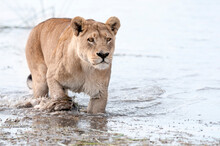 A Lioness Crossing A Small River In Duba Plains, Botswana.