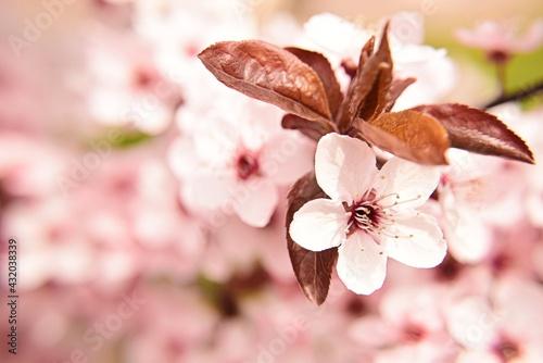 Obraz Kwitnące wiśnie - fototapety do salonu