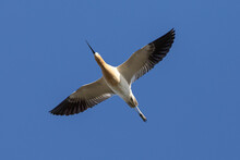 Extreme Close-up Of An American Avocet Flying, Seen In The Wild In A North California Marsh