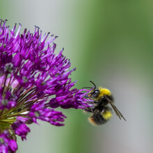 Allium With A Bee